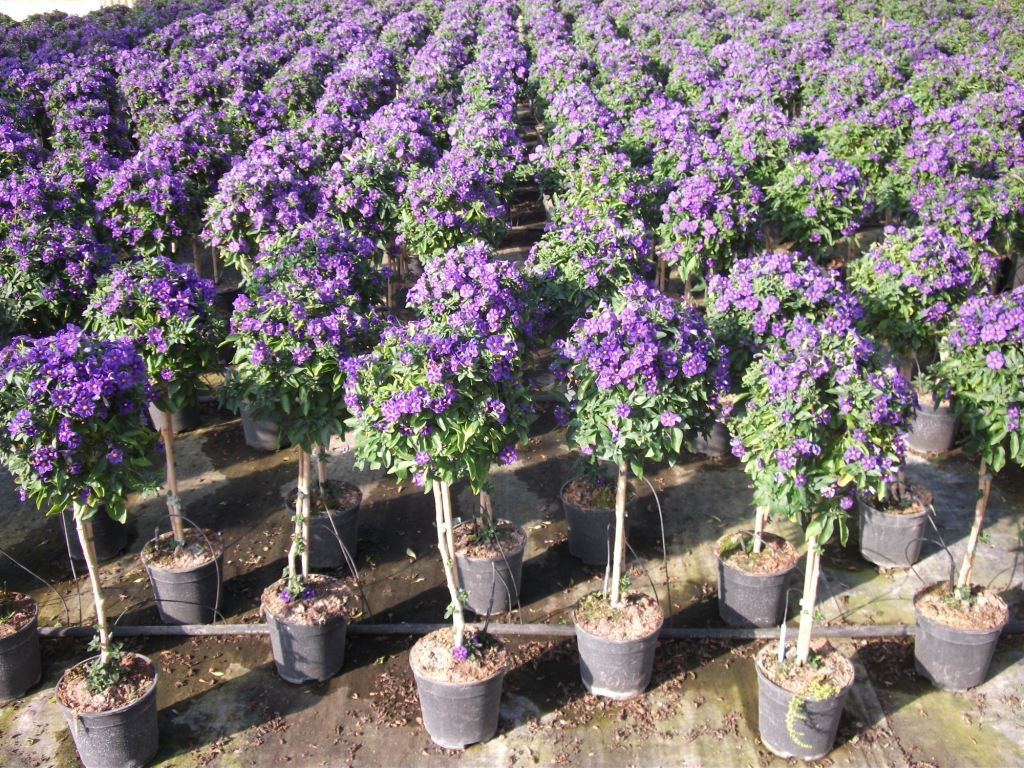 Solanum rantonetti for Pianta solanum