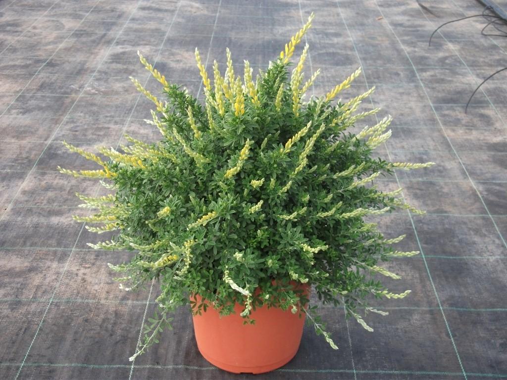 Vivai de michele piante ornamentali da esterno ostuni for Piante da cespuglio