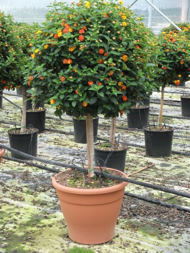 Vivai de michele piante ornamentali da esterno ostuni for Alberelli da esterno