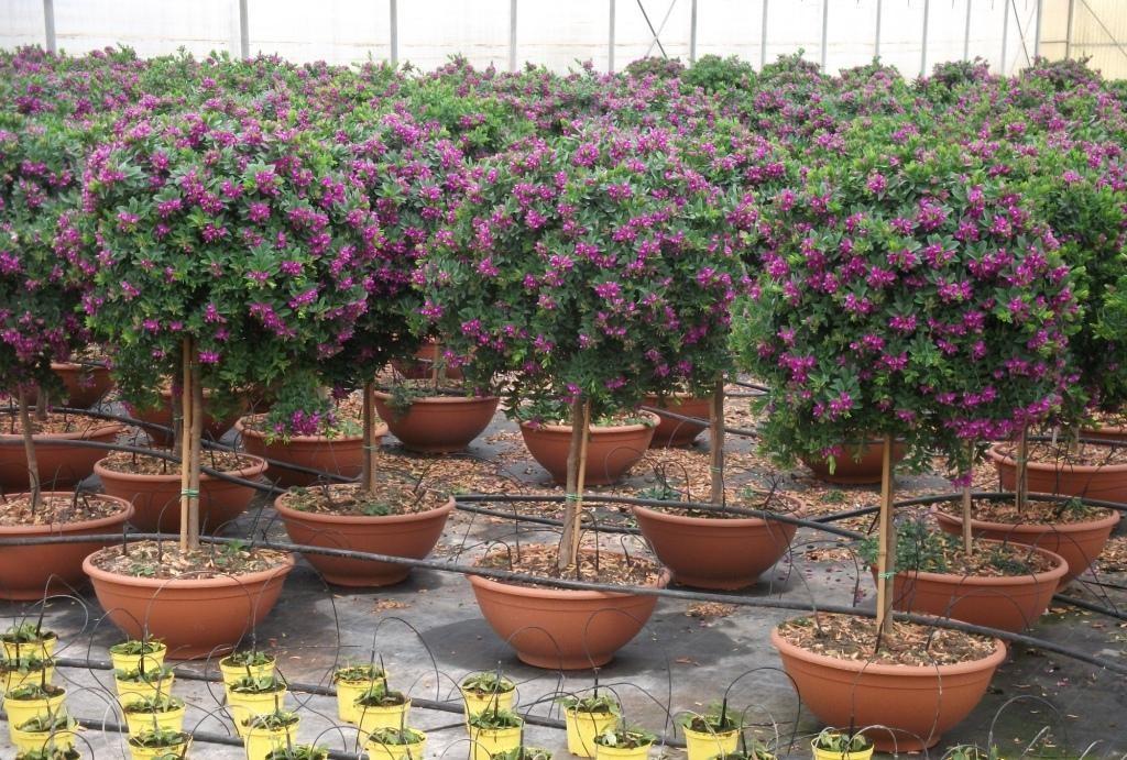 Vivai de michele piante ornamentali da esterno ostuni for Alberelli da vaso per esterno
