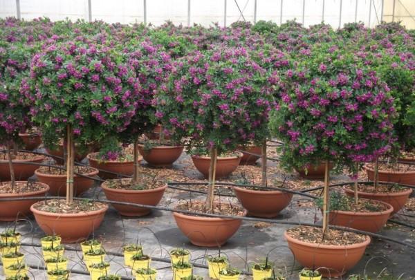 Vivai de michele piante ornamentali da esterno ostuni for Piante ornamentali da vaso per esterno