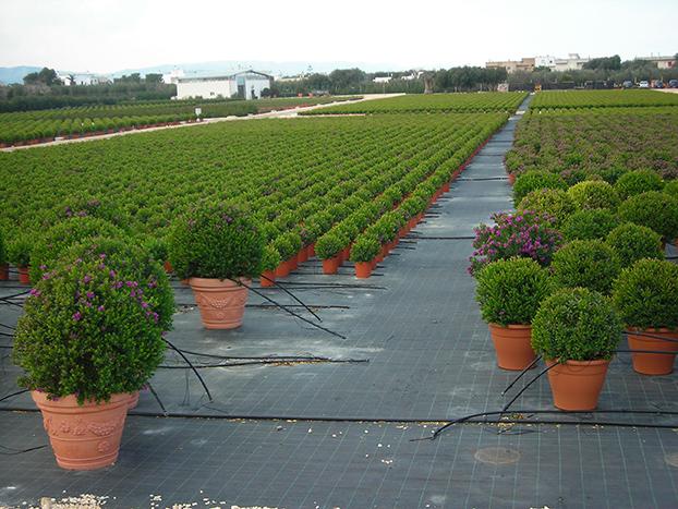 Vivai de michele piante ornamentali da esterno ostuni for Piante ornamentali per esterno